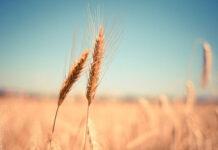 Sukces w zwalczaniu chwastów na polach kukurydzy